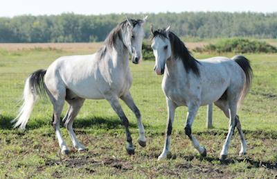 Arabians_Bravas_Pearl
