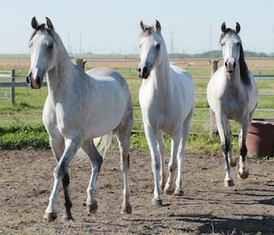 Arabians_Bravas_Shake_Pearl